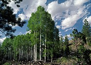 Grove of ASPEN trees _ UTAH