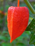 hinese lantern plant, Physalis alkekengi