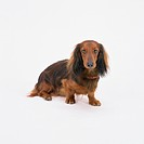 Brown dachshund standing