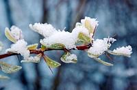 Snow settled on leaves during winter in Sweden