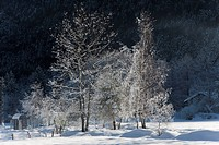Italy, Piedmont, Val Vigezzo, Tree in Winter.