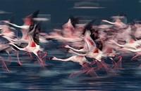Africa, Kenya, flamingoPhoenicopterus ruber