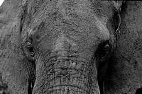 Africa, Elephant´s head Loxodonta africana