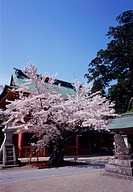 Cherry blossoms in Shiogama shrine