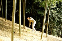 Man digging bamboo shoots