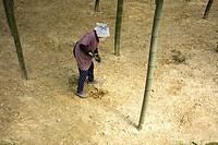 Senior woman digging bamboo shoots