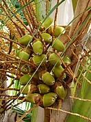 Coconut on tree, Cocos nucifera