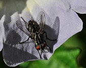 Fly on Nicandra blossom, Nicandra physaloides, Nicandra physalodes, fly, fliesmsits, sit, sitting, Fliege auf Giftbeerenblüte