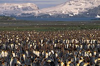 King penguin Aptenadytes patagonica rookery, Bay of Isles, Salisbury Plain, South Gorgia Island