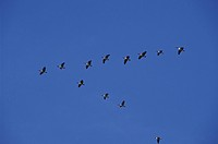 USA, Maryland, Canadian Geese in flight