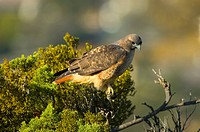 Red tail hawk perched in tree top, Northern California, USA