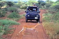 Africa, Tanzania, photographer in jeep photographing a running impala