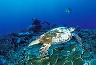 Papua, New Guinea, Hawksbill turtle Eretmochelys imbricata