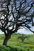 A silhouette of an oak tree in a pasture near Gilmore California.