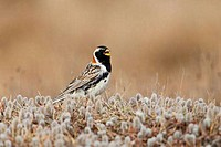 Lapland Longspur Calcarius lapponicus standing among dwarf willow Salix herbacea