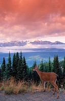 Deer above pine forests and below clouds and snow_capped peaks in Olympic National Park on Olympic Peninsula in Washington
