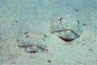Lizardfishes