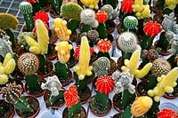Grafted cactuses Garden Center Cambrils, Tarragona, Catalonia, Spain