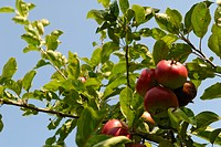 England, Kent. Close up of apples growing in an orchard in Kent, known as the garden of England.