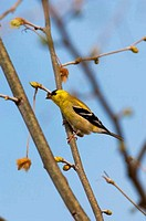 USA, TEXAS, HILL COUNTRY NEAR HUNT, AMERICAN GOLDFINCH