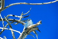 AFRICA, SEYCHELLES, BIRD ISLAND, FAIRY TERN NESTING IN BRANCH OF TREE