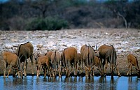 NAMIBIA, ETOSHA NATIONAL PARK, ELAND HERD AT WATERHOLE