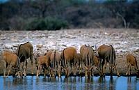 NAMIBIA, ETOSHA NATIONAL PARK, ELAND HERD AT WATERHOLE