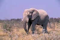 AFRICA, NAMIBIA, ETOSHA NATIONAL PARK, ELEPHANT BULL