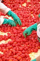 People examining tomatoes on conveyor belt