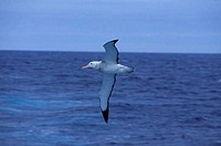 SCOTIA SEA, WANDERING ALBATROSS IN FLIGHT