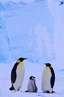 ANTARCTICA, RIISER_LARSEN ICE SHELF, EMPEROR PENGUIN COLONY, PAIR WITH CHICK, ICEBERG BACKGROUND