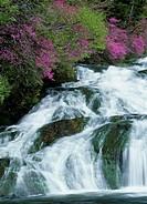 Rhododendron Wadanum and Mountain Stream, Tochigi, Japan