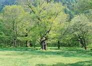 Tree in Green Field, Nagano, Japan