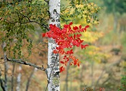 Japanese White Birch And Red Leaves, Nagano, Japan