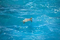 Turtle swimming