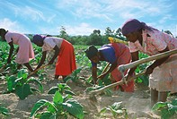 African women with hoe amid rows of tobacco plants on plantation in Zimbabwe