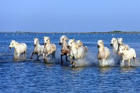 Camargue Horse,Equus caballus,Saintes Marie de la Mer,France,Europe,Camargue,Bouches du Rhone,group of horses galloping in water