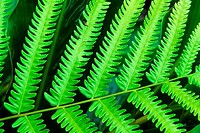 ECUADOR,AMAZON RAINFOREST, RIO NAPO, NEAR COCA, CLOSEUP OF FERN