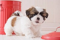 Shih tzu walking