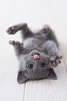 Russian blue lying down on floor