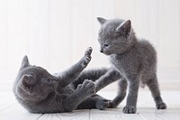 Two russian blue playing