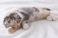 Scottish fold sleeping on a blanket