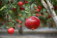 A pomegranate handing on a tree