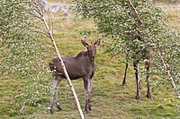 Moose  Young  Alces alces  Order : Artiodactyla Family : Cervidae.