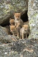Coyote Canis latrans pups peering out from den entrance, exploring , Yellowstone NP., Wyoming