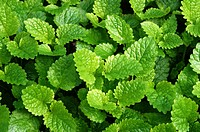 Lemon Balm or Melissa officinalis