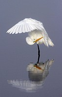 North America, USA, Florida, Merritt Island, a solitary great egret gracefully bending her wing to groom her feathers in pale blue water.