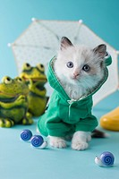 Rag Doll Kitten and Rainy Season