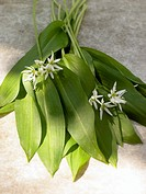 Fresh ramsons wild garlic leaves and flowers