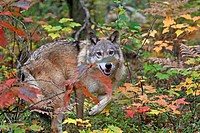 Wolf , Gray Wolf , Timber Wolf  Canis lupus  order:carnivora  family canidae.